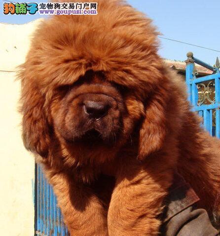 大狮子头的藏獒幼崽找新主人 济南市内提供免费送货