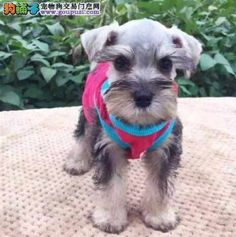 福州哪里里有雪纳瑞出售喜欢的来我家看看狗狗