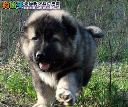 出售狼青色可看家护院的合肥高加索犬 签订协议