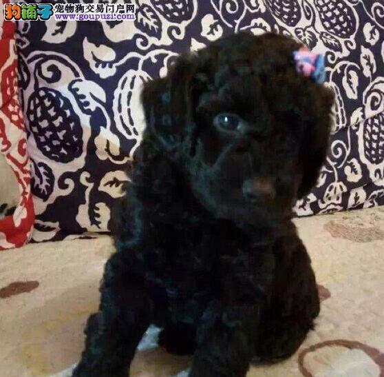 低价出售纯正韩国血统贵宾犬 朝阳附近可送狗到家