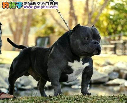 出售多只优秀的美国恶霸犬可上门专业繁殖中心值得信赖