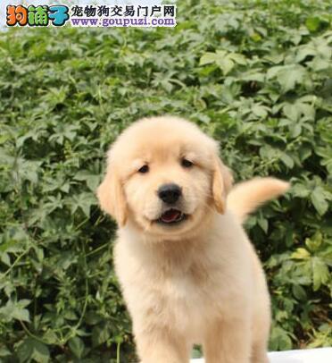 自家狗场出售大骨架长沙金毛犬 健康保证可上门看狗
