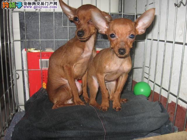 犬舍直销品种纯正健康济南小鹿犬签订合法售后协议