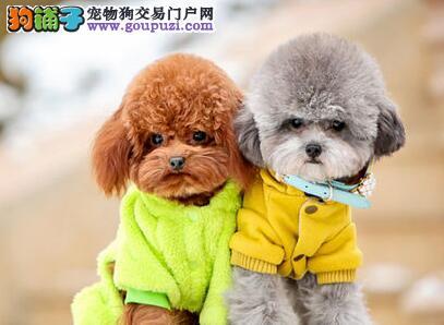 犬舍促销卷毛小巧可爱泰迪犬 郑州市内购犬送狗粮