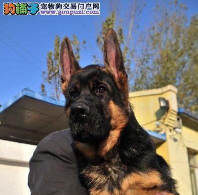 郑州大型犬业促销德国牧羊犬 纯种锤系可送货上门