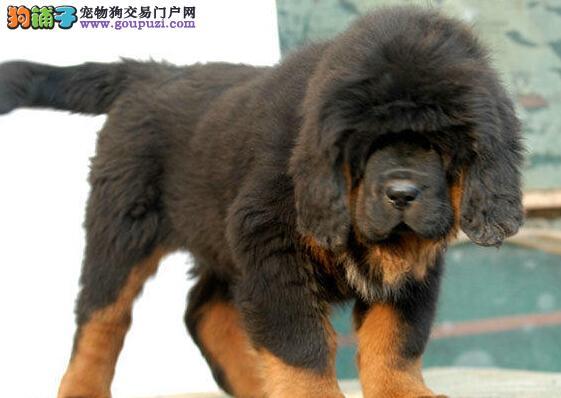 赛级品质藏獒幼犬出售 成都地区最低价品质最高