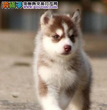 苏州直销三把火蓝眼哈士奇幼犬 包健康纯种 品质保证
