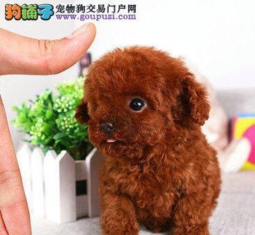 国外引进纯种可爱泰迪犬南京自家狗场直销 公母都齐全