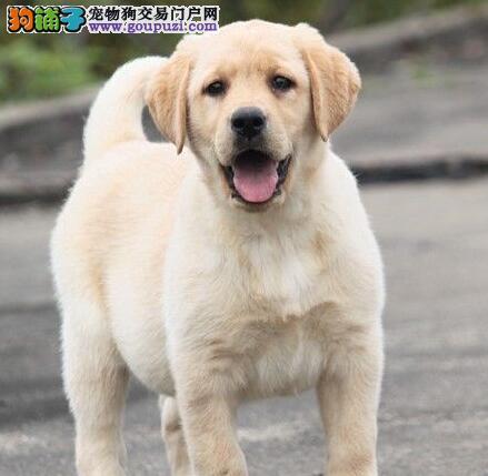上海自家繁殖拉布拉多出售公母都有微信选狗直接视频