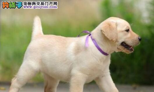 出售大骨架品相佳的石家庄拉布拉多犬 保证品质和售后