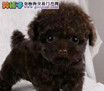 出售多种颜色遵义纯种泰迪犬幼犬同城免费送货上门