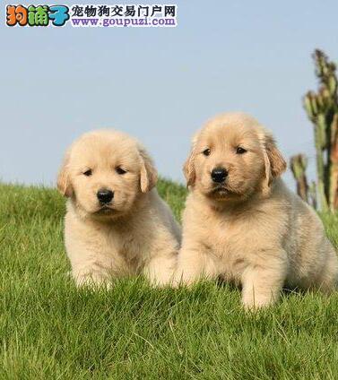 极品金毛热销中,高端大气精典品质,提供养狗指导