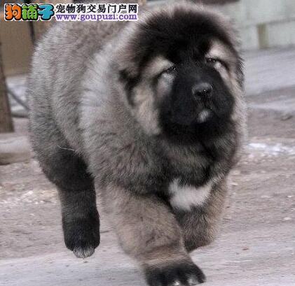 很不错的纯种熊版高加索幼犬 银川热销 大骨架 好毛量