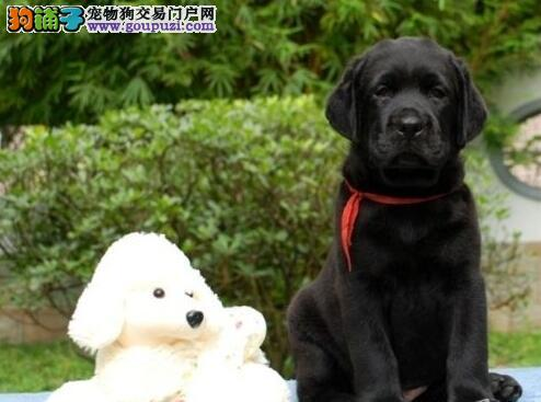 欢迎购买纯种郑州拉布拉多犬 外地客户可上门挑选购买