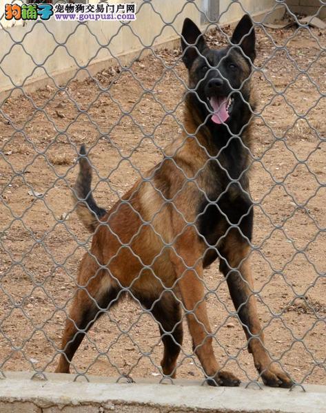西安出售马犬幼犬品质好有保障诚信经营三包终身协议