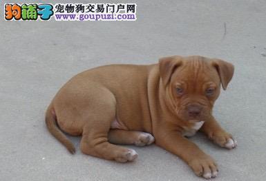 犬舍直销品种纯正健康成都比特犬签订协议包细小犬瘟热