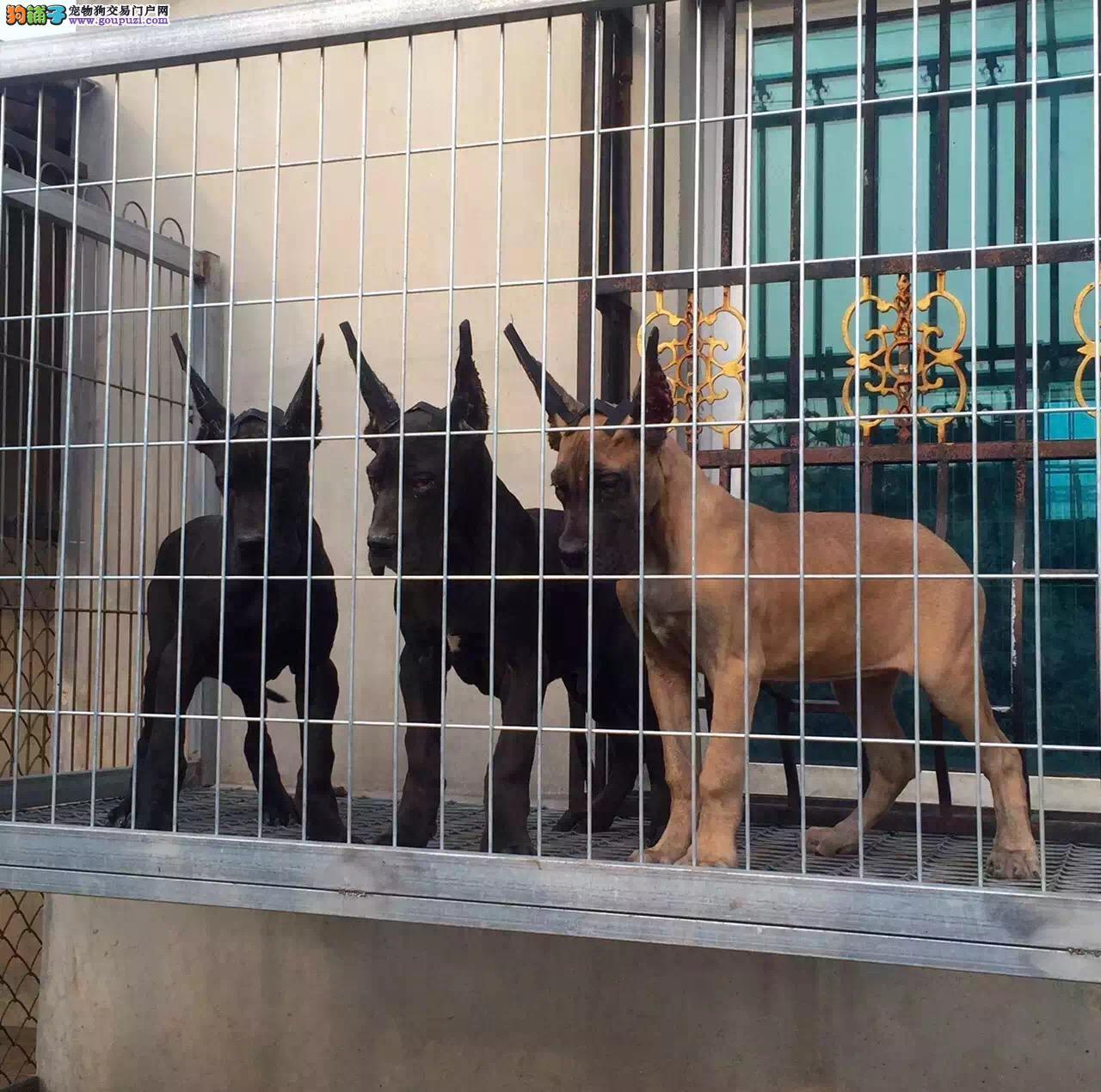 西双版纳自家繁殖的纯种大丹犬找主人赛级品质保障