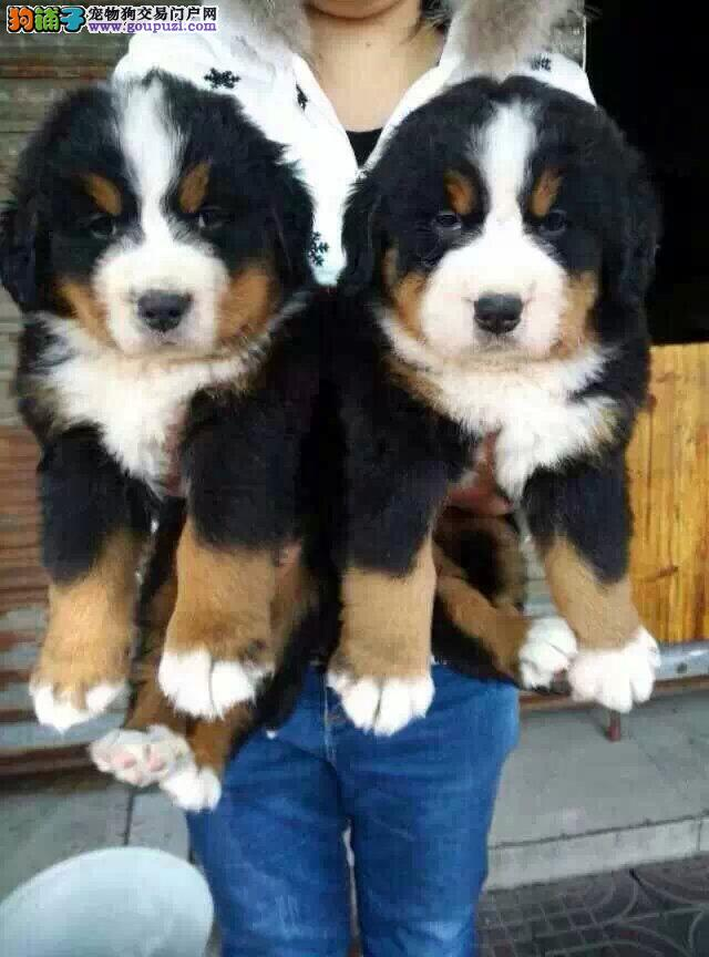 出售正宗血统优秀的伯恩山微信咨询看狗狗视频