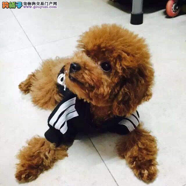 绝对家养的一窝红泰迪犬出售 仅限呼和浩特朋友选购