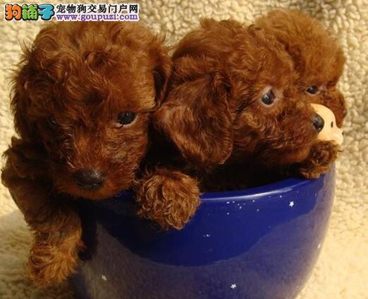 优秀品质韩系贵宾犬促销价格出售 济南周边可送货上门