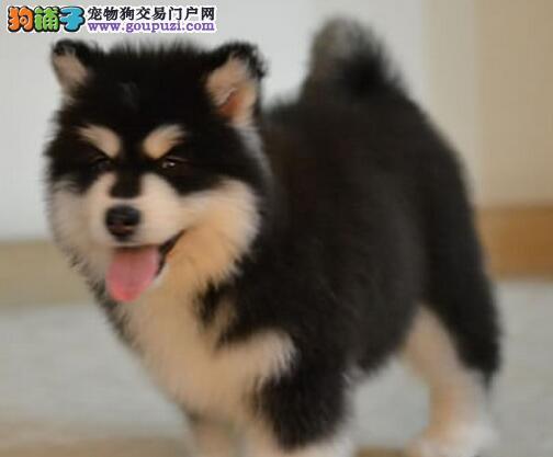 杭州养殖场低价转让多只十字脸阿拉斯加犬 狗贩子勿扰