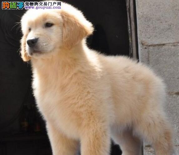 家养血统纯正金毛犬优惠促销南京地区购买签合同
