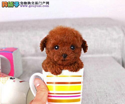 重庆哪里出售贵宾犬重庆贵宾犬出售