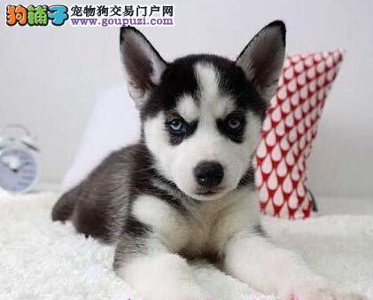 上海犬舍直销三把火哈士奇 价格优惠品质高毛色佳