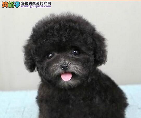 兰州犬舍低价出售超小体泰迪犬 人见人爱花见花开