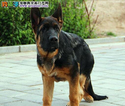 济南自家犬舍低价转让纯种德国牧羊犬 价格可谈