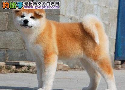 低价出售纯种日系秋田犬 均是福州地区最高品质最低价