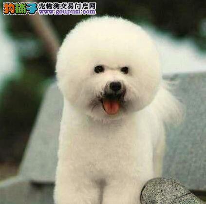 卷毛棉花糖版的渝中比熊犬优惠出售 数量有限速来选购