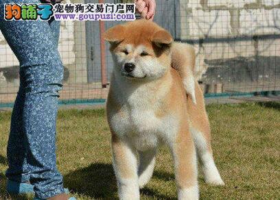 靓丽可爱的日系秋田犬找新主人 青岛的朋友直接上门选
