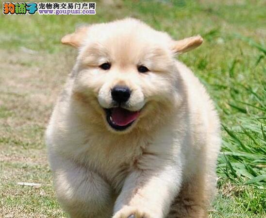 金黄色品相极佳的太原金毛犬找新家 签订终身售后协议