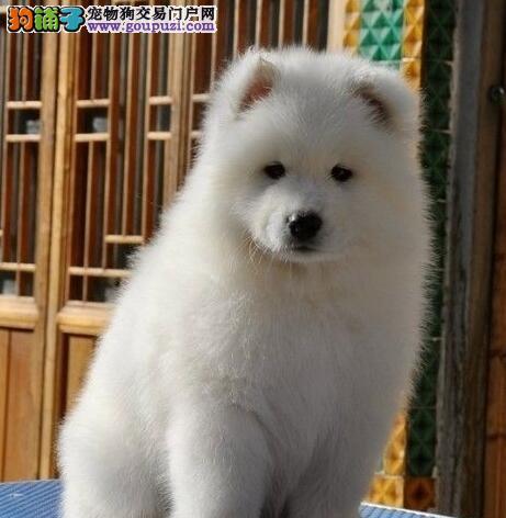 微笑天使幼犬萨摩耶朝阳市出售 公母全有可挑选