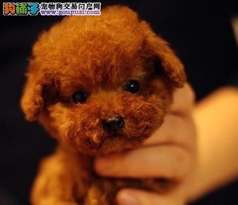 宁波自家狗场热销出售纯种韩系泰迪犬 血统纯正保纯度