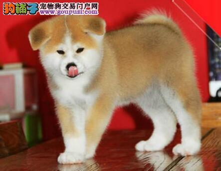 成都繁殖基地直销日系秋田犬 喜欢的朋友可上门选购