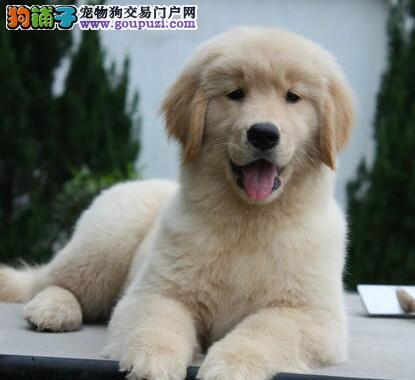 出售大毛量大骨架公母均有的贵阳金毛犬 终身售后服务