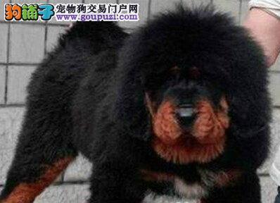 本獒园出售纯种铁包金藏獒.黄獒幼犬 欢迎联系 特价了