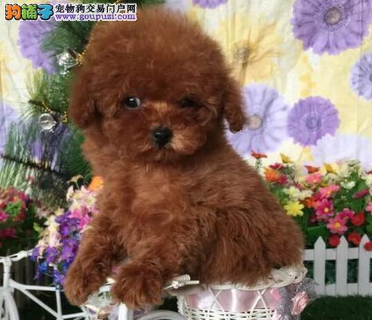 金山出售极品贵宾犬幼犬完美品相签署质保合同