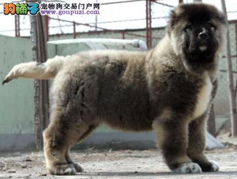 家养纯种巨型高加索幼犬出售血统纯种疫苗已打可上门