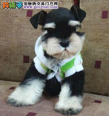 出售高品质的贵阳小体雪纳瑞犬 签订售后正规合同