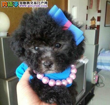 金山出售纯种泰迪幼犬 纯种泰迪熊幼犬 价格优惠