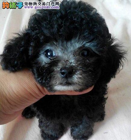 韩国进口泰迪犬 来自星星的小体泰迪犬绝对真实的照片