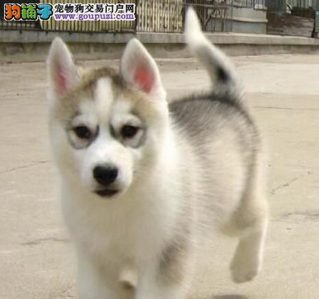 广州犬舍出售优秀哈士奇 公母都有不通过中介