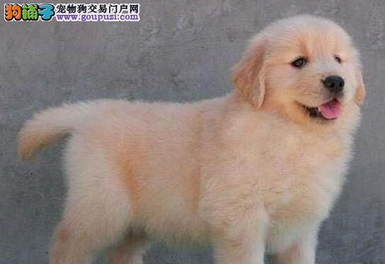 出售超大头版超大毛量的海口金毛犬 可送货上门选购犬