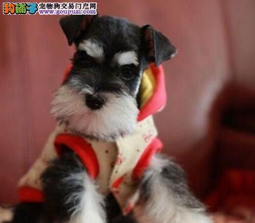七折优惠出售优质福州雪纳瑞幼犬 保健康保纯种可刷卡
