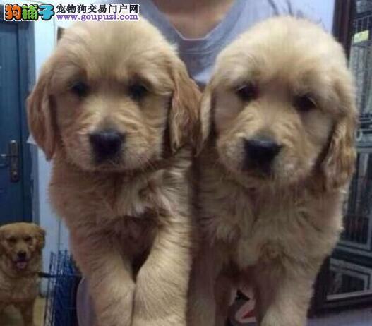 CKU认证犬舍出售忠诚可爱的南京金毛犬 可看狗父母