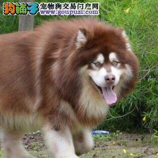 自家繁殖出售阿拉斯加雪橇犬 上海周边免运费有证书