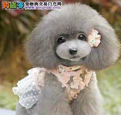 健康   质保__纯种韩系泰迪熊(贵宾)宝贝出售
